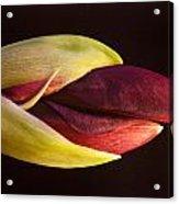 Amaryllis Opening Acrylic Print