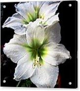 Amaryllis Acrylic Print by Will Boutin Photos