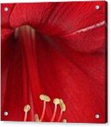 Amaryllis6720 Acrylic Print