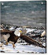 Amazing Bald Eagle  Acrylic Print