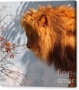 Amazing Male Lion Acrylic Print