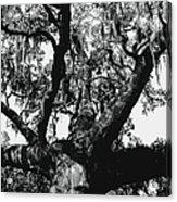 Amazing Oak Tree Acrylic Print