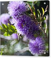Amazing Purple Melaleuca  Acrylic Print
