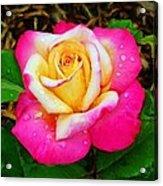 Amazing Red Yellow Rose Acrylic Print