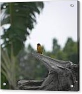 Amazon Bird 1 Acrylic Print