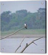 Amazon Bird 3 Acrylic Print