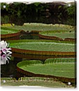 Amazon Lily Pad Acrylic Print