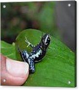Amazon Poison Dart Frog 2 Acrylic Print