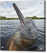 Amazon River Dolphin Spy-hopping Rio Acrylic Print