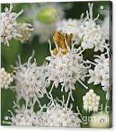 Ambush Bug Acrylic Print
