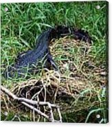 American Alligator 002 Acrylic Print