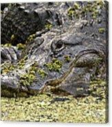 American Alligator Print Acrylic Print