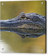 American Alligator Reflection Acrylic Print