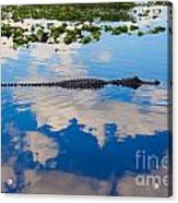 American Alligator Swimming Through The Clouds Acrylic Print