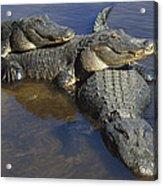 American Alligators In Shallows Florida Acrylic Print