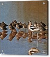 American Avocet And Sleeping Dowitchers Acrylic Print