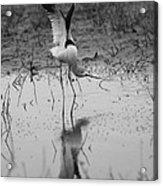 American Avocet Reflection Acrylic Print