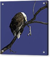 American Bald Eagle 1 Acrylic Print
