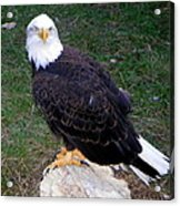American Bald Eagle 2 Acrylic Print