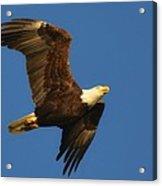American Bald Eagle Close-ups Over Santa Rosa Sound With Blue Skies Acrylic Print
