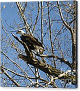 American Bald Eagle In Illinois Acrylic Print