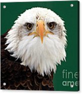 American Bald Eagle On The Look Out Acrylic Print by Inspired Nature Photography Fine Art Photography
