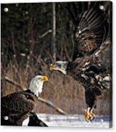 American Bald Eagles Acrylic Print