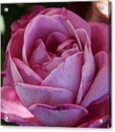 American Beauty IIi Acrylic Print