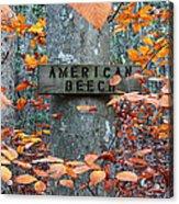 American Beech Acrylic Print