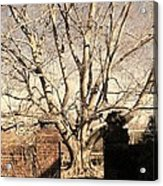 American Beech Tree - Dumbarton Oaks Acrylic Print