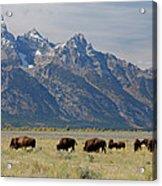 American Bison Herd Acrylic Print