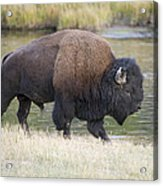 American Bison On The Madison River Acrylic Print
