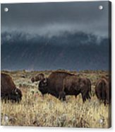 American Bison On The Prairie Acrylic Print