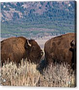 American Bison Trio Acrylic Print