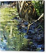 American Bittern - Keeping A Low Profile Acrylic Print