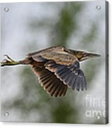 American Bittern Pictures 3 Acrylic Print
