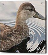 American Black Duck Acrylic Print