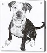 American Bull Dog As A Pup Acrylic Print