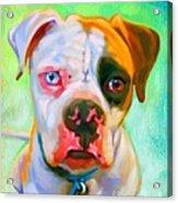 American Bulldog Art Acrylic Print by Iain McDonald
