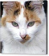 American Calico Cat Portrait Acrylic Print