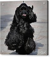 American Cocker Spaniel In Action Acrylic Print by Camilla Brattemark