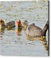 American Coot And Chicks Acrylic Print
