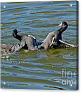 American Coots Fighting Acrylic Print