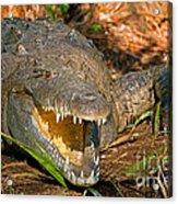 American Crocodile Acrylic Print