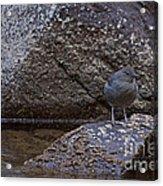 American Dipper   #2488 Acrylic Print