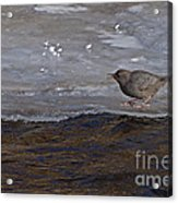 American Dipper   #5851 Acrylic Print