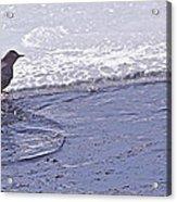 American Dipper   #8163 Acrylic Print