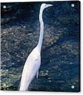 American Egret I Acrylic Print