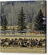 American Elk   #4305 Acrylic Print