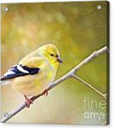 American Goldfinch - Digital Paint Acrylic Print